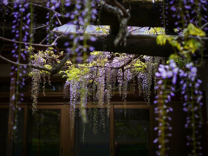Wisteria Trellis Beautiful Nature Flowers at same position, right turn Light And Shadow Reflections A Frame Within A Frame / LUMIX GX1 LEICA D SUMMILUX 25mm Nofilter : Fujitana Koga-machi Nagasaki City Nagasa-Kirei ( ナガサキレイ ) Spring Into Spring