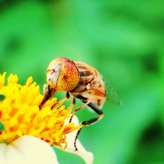 Insect One Animal Animals In The Wild Animal Wildlife Nature Animal Themes No People Close-up Day Outdoors Beauty In Nature Full Length Flower Hoverflyonflower Hoverfly On Flower Hoverfly