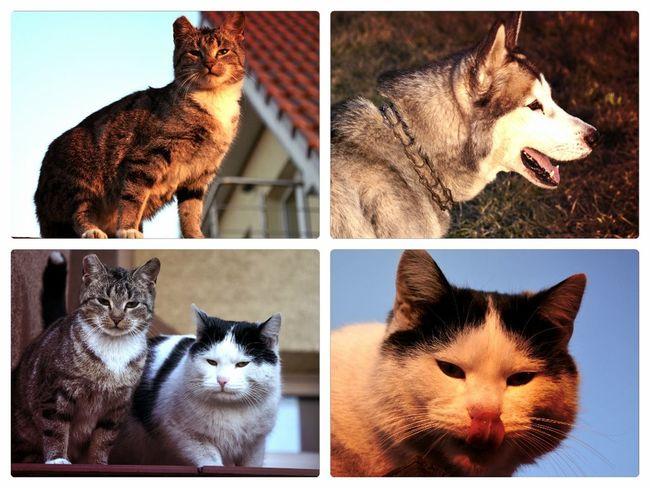 Dog Cat Animals Sweet Syberianhuskey Cat♡ Dog Love Animal Love