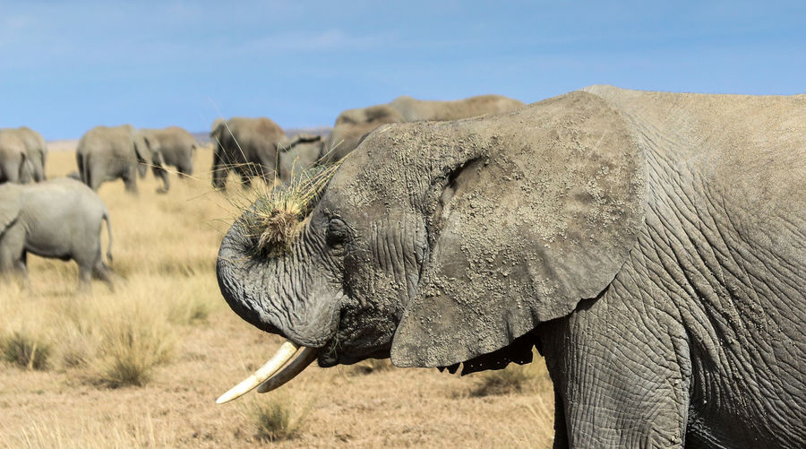 African elephant putting grass on its head, with the rest of the herd in the background