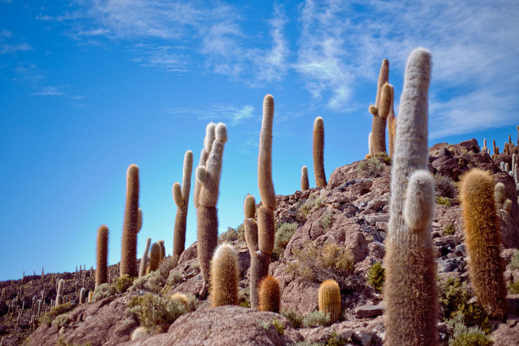 Low Angle View Of Cactus Plants On Field Against Sky