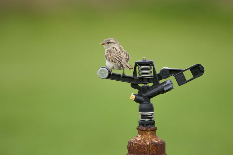 Close-Up Of House Sparrow On Sprinkler