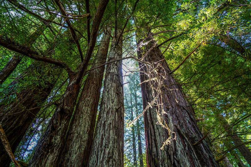 The awesome Redwood National Park in northern California, these trees are truly gorgeous. California Nature Northern California Redwood Forest Tree View Awesome Gorgeous Landscape Large Group Of People Outdoors Park Redwood National Park Redwoods River Rocks Scenics Tall Water