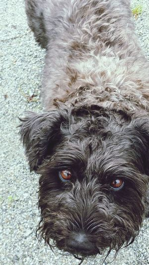 He is a dog of many colors Minischnauzer Dogs Of EyeEm Blackbrowncharcoal Lovehim