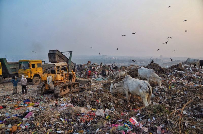 People by earth mover and cows at garbage dump