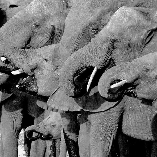 African teatime! Beauty In Nature Blackandwhite Botswana Chobe Close-up Elephants Herd Ivory Nature Quenchyourthirst Safari Safari Animals Source Of Life Thirsty  Water Watering Hole Tea Time Africa Quenching My Thirst