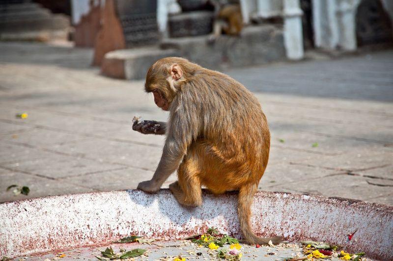 Hmmm, should I eat this? 🤨 Feeding Animals EyeEm Selects Animal Themes Animal Mammal One Animal Focus On Foreground Animal Wildlife No People Monkey Full Length Street My Best Photo