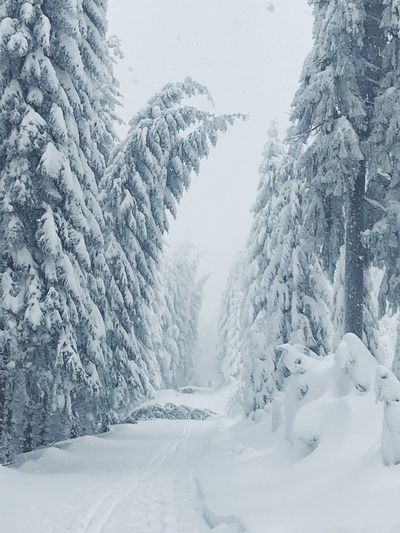 Snow Cold Temperature Winter Tree Beauty In Nature Tranquility Frozen Non-urban Scene Forest