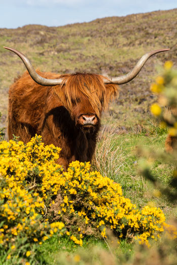 Scotland Scottish Cow Animal Animal Themes Animal Wildlife Cattle Cow Domestic Domestic Animals Domestic Cattle Field Flower Flowering Plant Herbivorous Highland Cattle Horned Isle Of Skye Land Livestock Mammal Nature No People One Animal Outdoors Pets Plant Vertebrate The Great Outdoors - 2018 EyeEm Awards The Traveler - 2018 EyeEm Awards The Portraitist - 2018 EyeEm Awards