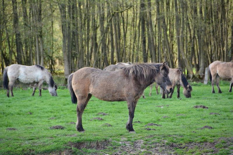 Beauty In Nature Day Dülmen Field Grass Grassy Grazing Green Color Growth Herbivorous Landscape Livestock Mammal Merfelder Bruch Nature No People Outdoors Tranquility Tree Wild Horses Wildpferde