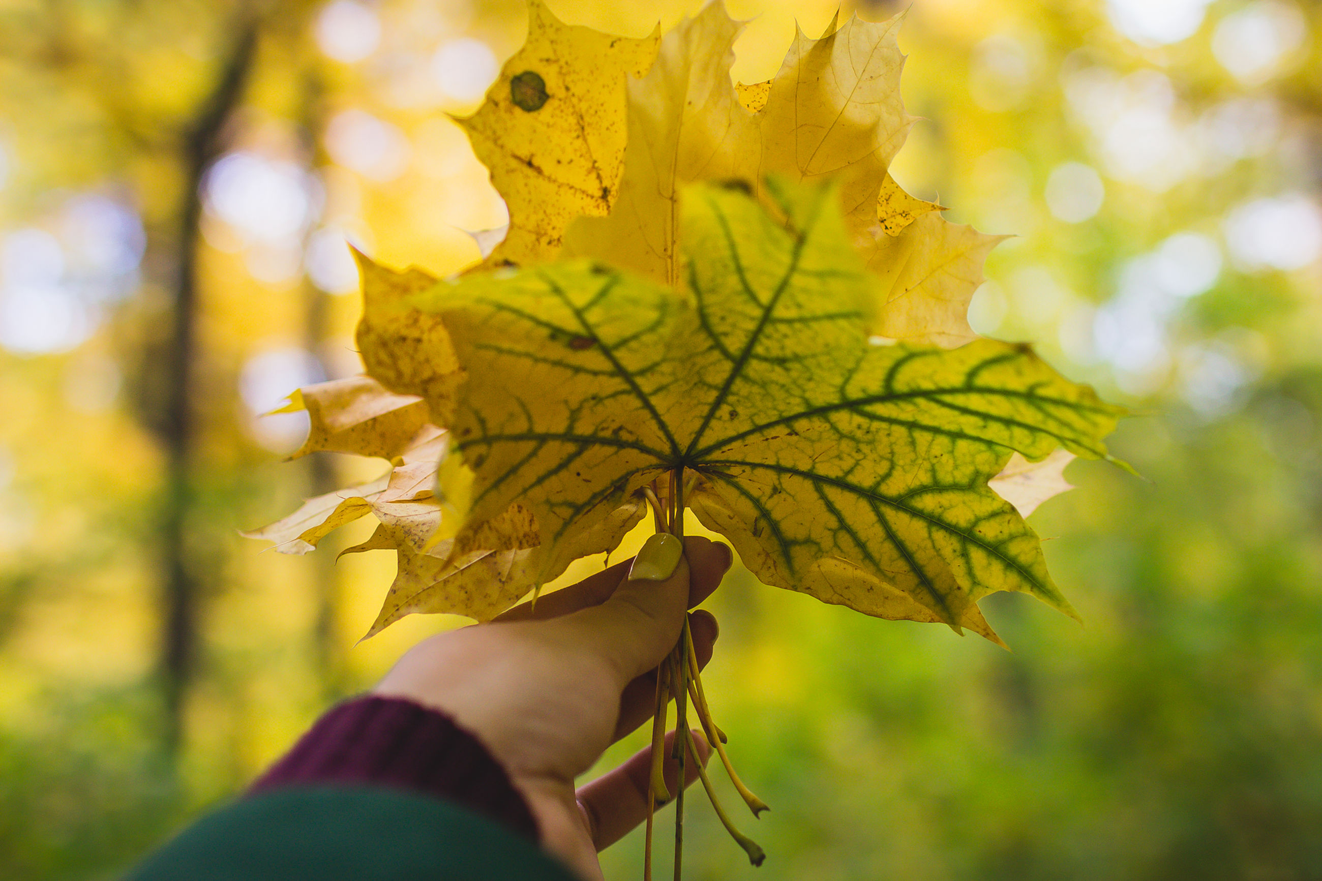 person, leaf, focus on foreground, holding, part of, autumn, cropped, close-up, unrecognizable person, tree, change, personal perspective, leaf vein, human finger, lifestyles, yellow, nature