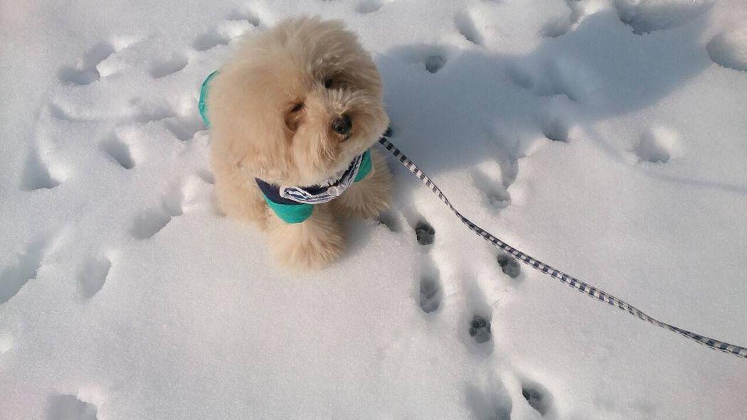 Deepfreeze Dog Toypoodle My Toypoodle Pet I Love My Dog Dogs DogLove Poodle Love