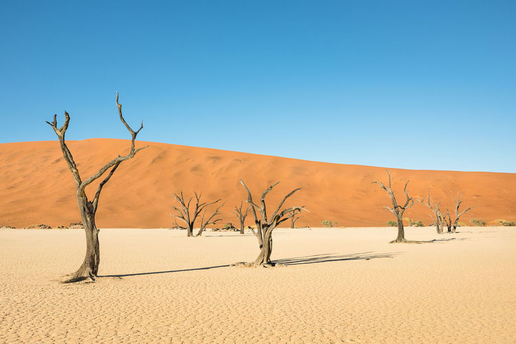 Dry camelthorn tree at Dead Vlei in Sossusvlei area Namibia desert Acacia Acacia Tree African Camelthorne Trees Dead Vlei, Namibia Dead Tree Death Valley Desert Deserts Around The World Namibia Namibia Landscape National Park Nature Panorama Sossusvlei Sossusvlei Desert - Namibia Travel Traveling Wanderlust Africa Arid Climate Climate Change Dead Vlei Landscape Travel Destinations