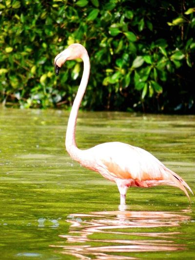 One Animal Animal Themes Animals In The Wild Bird Nature Focus On Foreground Flamingo No People Animal Wildlife Outdoors Full Length Day Close-up Beak Beauty In Nature Water Mexico Celestun