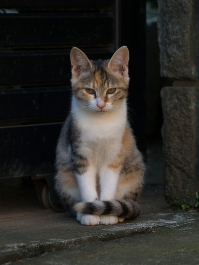 Sit !! Animal Head  Animal Themes Cat Domestic Animals Domestic Cat Feline Looking At Camera Mammal No People One Animal Pets Sitting Tabby Tail Whisker