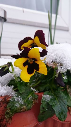 Snow Pansy... Flower Yellow Close-up No People Outdoors Leaf Flower Head Nature Freshness Day Plant Fragility
