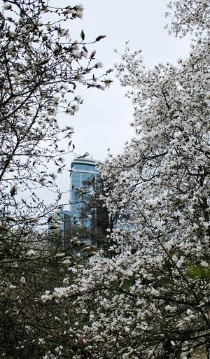Architecture Built Structure Sky Day Tree City Nature Ukraine Kiev Kyiv Magnolia Magnolia Blossom Blossom Bloom Photo Beautiful Canon Manolya City Nature Flower Photography Branch