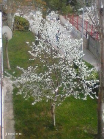 Pajarillo en las ramas. Cerezo en flor. Tree Porn Nature Fuenlabrada Madrid