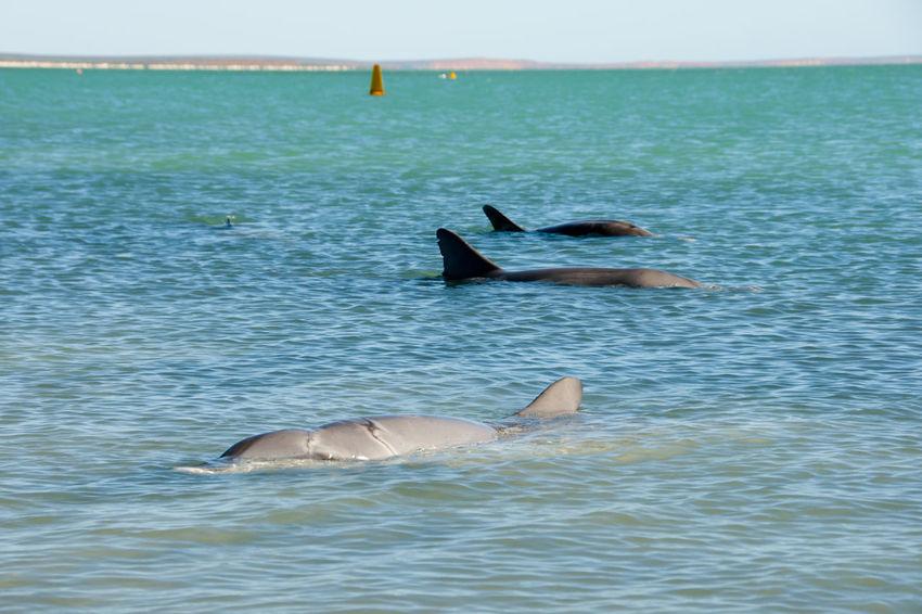 Wild Dolphins Dolphin Monkey Mia Australia Wild Indian Ocean Sea Marine Sea Life