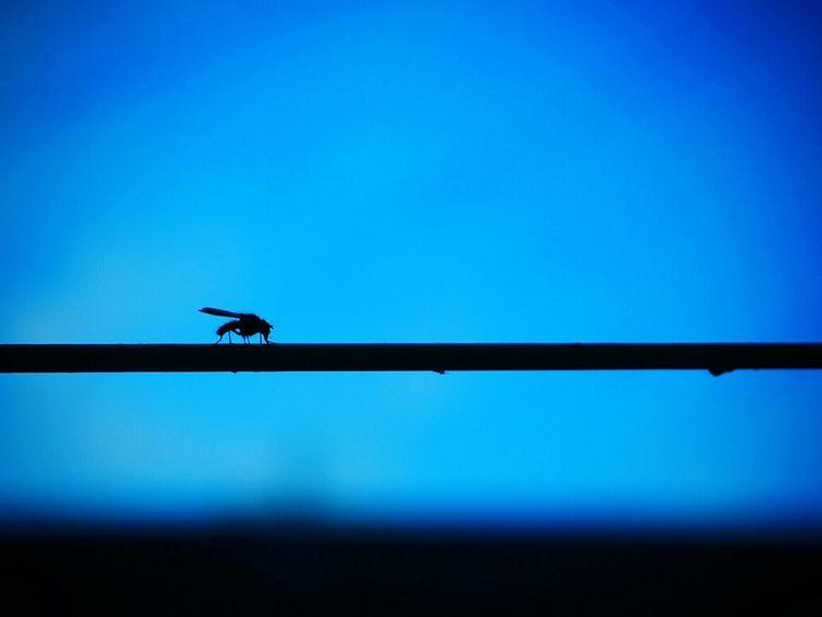 Mosquito Moustique Blue Blue Sky Nature