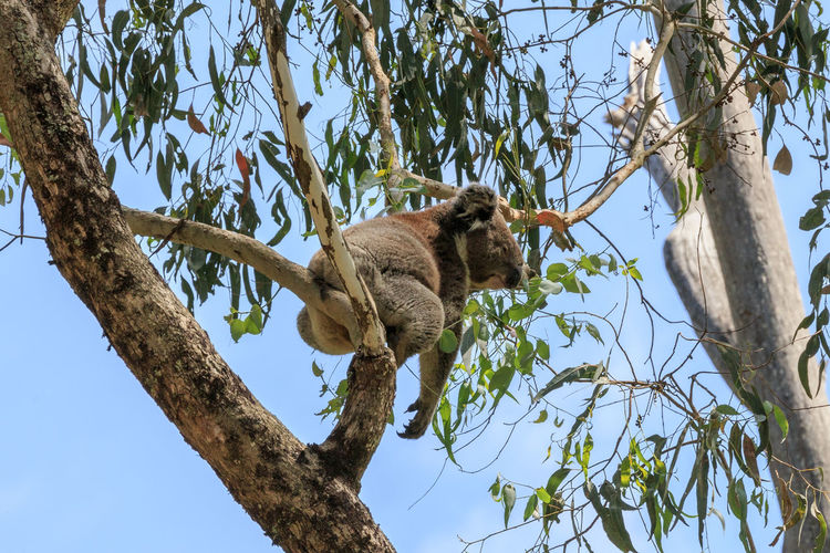 Low angle view of koala sleeping on tree against sky