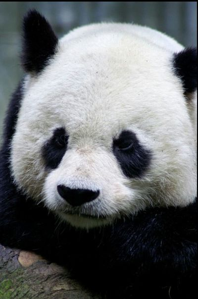 Panda Animals Mammal Mammals Animal Animalphotography Animal Photography Pandas♥ Panda Bear Animal Portrait Natures Diversities