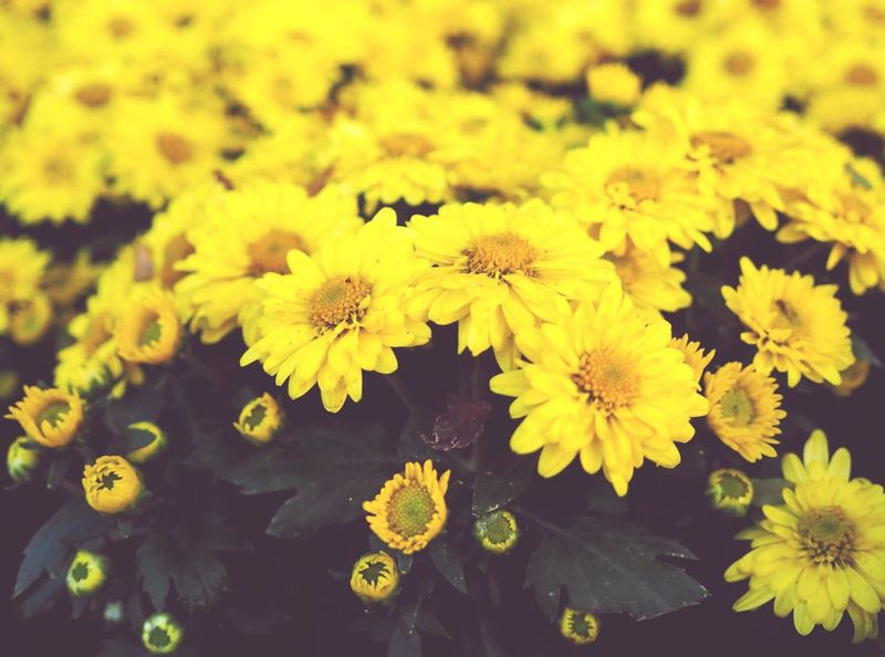 Flowers, chrysanthemums, yellow, bright, green, fresh, bright, beautiful, amazing, mind awake.