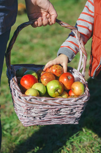 Closeup of little girl hand picking a fresh organic apple from wicker basket. Healthy food and harvest time concept. Agriculture Apple Autumn Family Farm Farmer Mother Tree Wicker Basket Fall Food Fruit Girl Harvest Harvesting Holding Leisure Activity Orchard Organic Outdoors Picking Real People Togheter Vertical