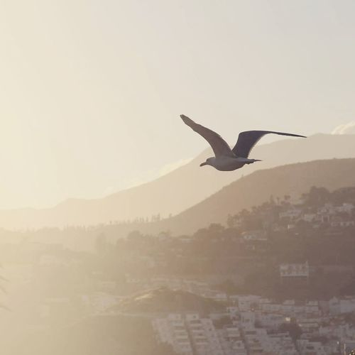 Bird Spread Wings Flying City Bird Of Prey Mid-air Fog Vulture Sunset Silhouette