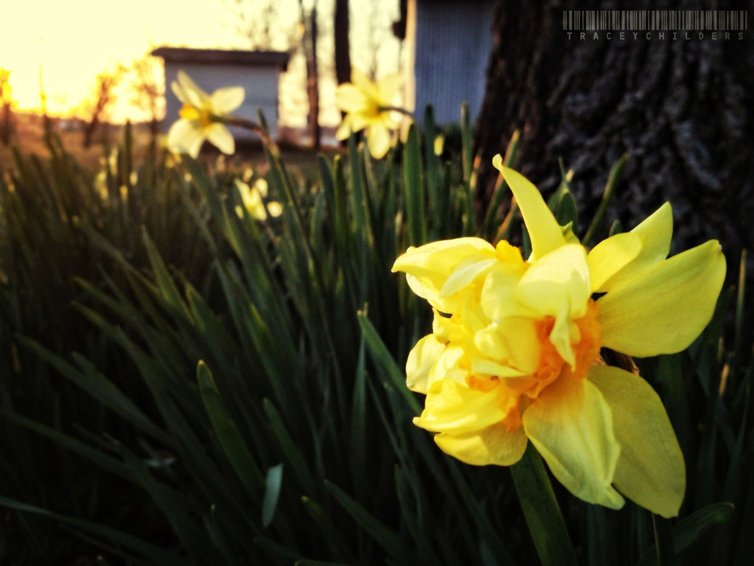 flower, yellow, freshness, petal, fragility, growth, flower head, focus on foreground, plant, beauty in nature, blooming, close-up, nature, stem, field, in bloom, selective focus, outdoors, no people, day