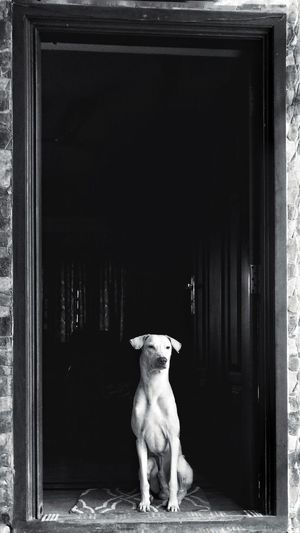 Bnw India Blackandwhite Monochrome Dogs Of EyeEm Fogs Fog Guard Black Background Oneplus Home House Pets Of Eyeem EyeEm Best Shots EyeEmNewHere EyeEm Best Shots - Black + White EyeEm Gallery Cute Bold Brave Courage Streetphotography Canine Dogsareawesome Pets Dog Portrait Full Length Door Entryway