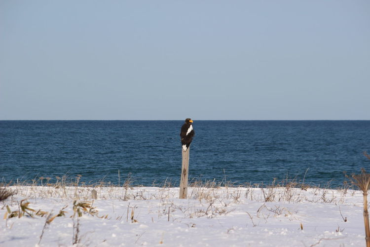 Steller's sea eagle staying in a tree on beach against clear sky