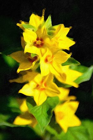 """""""Fleurs en jaune"""" Oil Painting Effect Artistic Expression Artistic Photography Artistic Photo Outdoor Photography Nature Photography Yellow Flowers Loosestrife Flowering Plant Flower Yellow Freshness Plant Flower Head Inflorescence Beauty In Nature Close-up Nature No People Black Background Outdoors"""