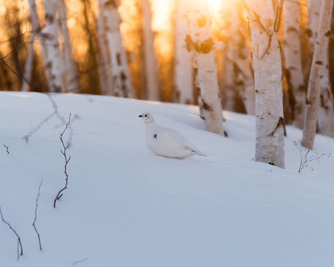 Happy New Years Snow Winter Cold Temperature Animal Bird One Animal White Color Animals In The Wild Animal Wildlife Grouse