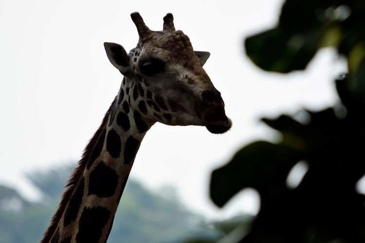 Wildlife and forestry Animal Animal Body Part Animal Head  Animal Neck Animal Themes Animal Wildlife Animals In The Wild Close-up Day Domestic Animals Focus On Foreground Giraffe Herbivorous Mammal Nature No People One Animal Outdoors Safari Sky Tree Vertebrate