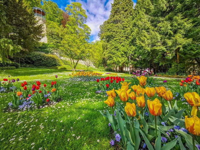 Multi colored tulips in park