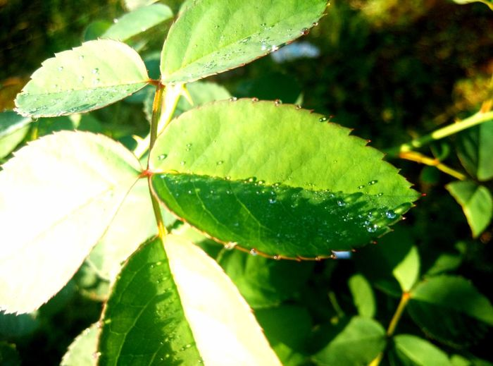 EyeEmNewHere Beauty In Nature Close-up Day Food And Drink Freshness Green Color Growth Leaf Maple Nature No People Outdoors Plant Water