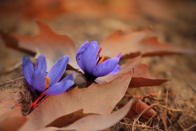 saffron....kashm