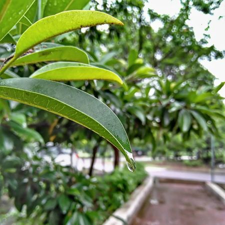 Leaves🌿 Rainy Days Leaf Green Color Nature Plant Growth Outdoors Close-up Freshness No People Day Tree Water Beauty In Nature Fragility Greenhouse