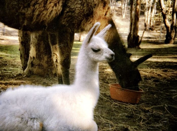 Sweet baby Yama born at a ranch in Riverside, California. Old Files