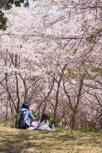 April Sakura Tree Plant Real People Nature Leisure Activity Lifestyles Relaxation Sitting Day Beauty In Nature Sunlight Park Outdoors Full Length One Person Field Hood - Clothing Land Growth Men