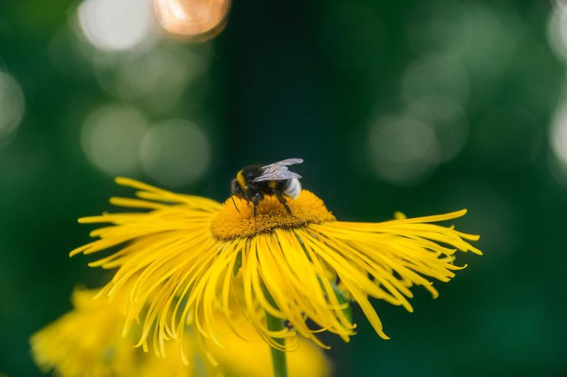 Close-up of bumble bee on yellow flower