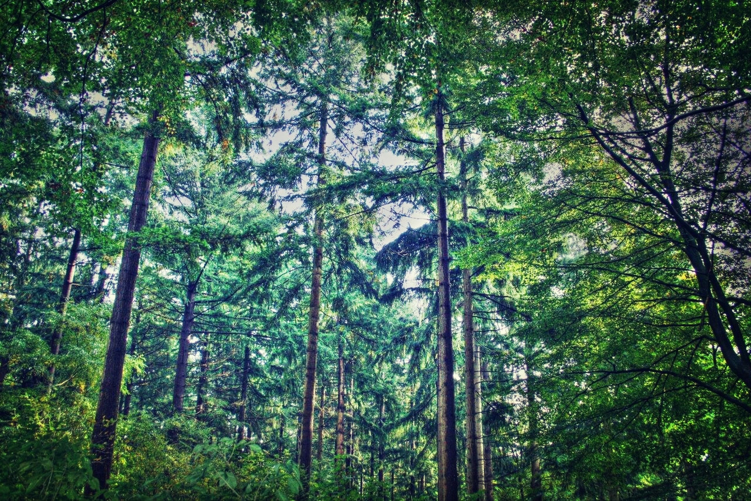 tree, forest, growth, tree trunk, tranquility, green color, woodland, nature, branch, low angle view, beauty in nature, lush foliage, tranquil scene, scenics, non-urban scene, day, outdoors, green, no people, idyllic