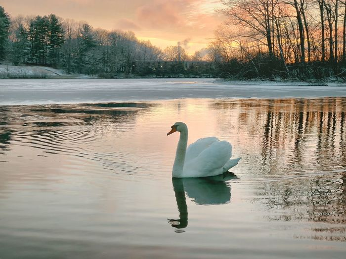 Swan on Coes Pond & Winter Sunrise Reflection Animals In The Wild Lake Water Swan Beauty In Nature Nature Tranquil Scene Outdoors Tranquility Wildlife Animal Wildlife Bird