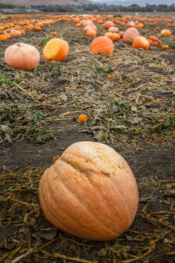 Large foreground pumpkin in field of pumpkins (Portrait) Beauty In Nature California Close-up Day Field Freshness Growth Nature No People Orange Orange Color Outdoors Pumpkin Pumpkinpatch