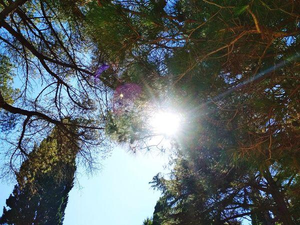 Tree Branch Forest Sky Pine Tree Evergreen Tree Pine Wood Shining Directly Below