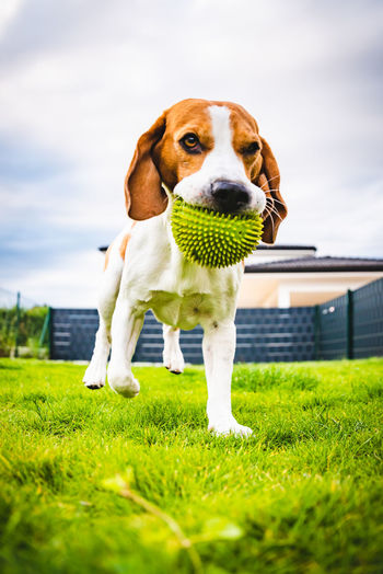 Dog carrying ball in mouth on land