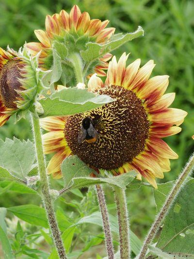 日曜日のヒマワリ畑にて。最初クマバチかとも思ったけど何となく違和感が。それもそのはずクマバチは胸が黄色。これはどうもクロマルハナバチっぽい? A bumblebee on the sunflower. 昆虫 Insects  Sunflower Field Flowers