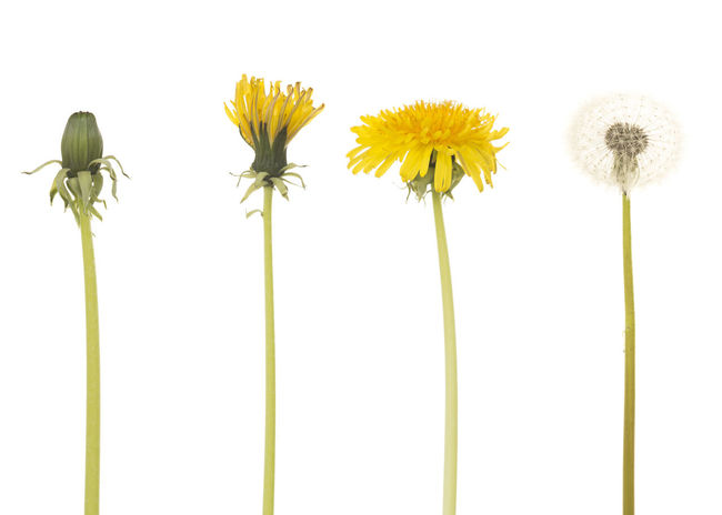 Dandelion in four different stages isolated on a white background Blooming Dandelion Dandelion Collection Dandelion Flower Spring Stages White Background Yellow