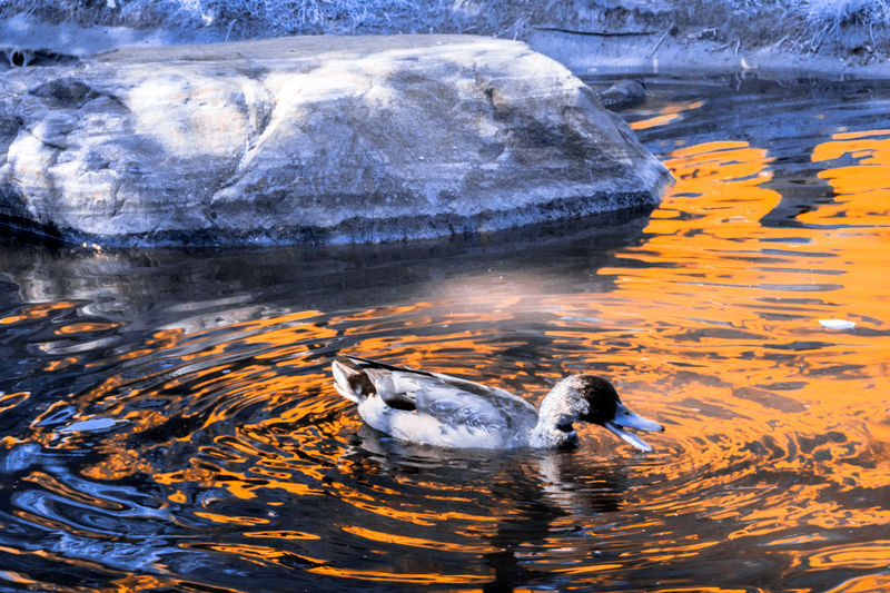 On Golden Pond [IR] Animal Themes Canada Coast To Coast Capture The Moment Check This Out Dramatic Angles Duck Enjoying Life Exceptional Photographs Eye4photography  EyeEm Best Shots Getting Inspired Hanging Out Hello World Lake Light And Shadow Mallard Nature Outdoors Pond Quack Relaxing TakeoverContrast Taking Photos Walking Around Water